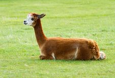 Free Brown Alpaca Lying In A Field Stock Photography - 27155892