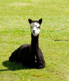 Free Black Alpaca In A Field Stock Photos - 27155923