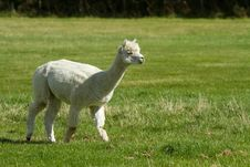 Free White Alpaca In A Field Stock Images - 27156584