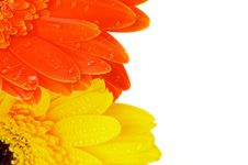 Free Orange And Yellow Gerbera Flowers Stock Images - 27157674