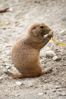 Free Black-tailed Prairie Dog Royalty Free Stock Images - 27159549
