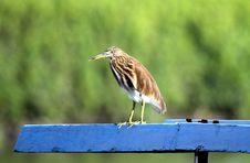 Free Squacco Heron Stock Photo - 27159570