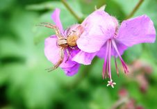 Free Misumena Vatia Spider Hunting Royalty Free Stock Photo - 27159665