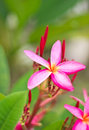 Free Pink Frangipani Flowers Royalty Free Stock Images - 27168359