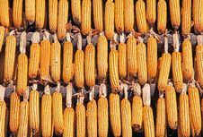 Free Corn Drying Stock Photo - 27163580