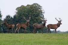 Free Deers Rut In Autumn Royalty Free Stock Photos - 27164108