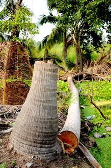 Free Dead Coconut Tree. Stock Photo - 27166050