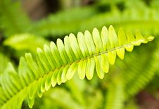 Free Fresh Green Fern Leafs Stock Images - 27166664