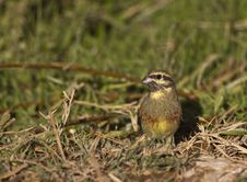 Free Cirl Bunting Stock Images - 27167114