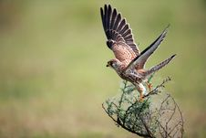 Free Falcon Taking Off Royalty Free Stock Image - 27168176