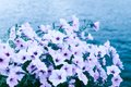 Free Purple Flowers Royalty Free Stock Photo - 27170605