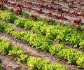 Free Lettuce Stock Photos - 27172283