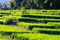 Free Terraced Rice Fields In Northern Thailand Royalty Free Stock Photo - 27176275
