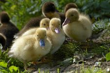 Free Baby Duck Stock Photography - 27173642