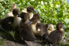 Free Baby Duck Royalty Free Stock Photos - 27173658