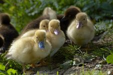 Free Baby Duck Stock Images - 27173734