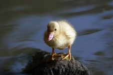 Free Baby Duck Stock Image - 27173771