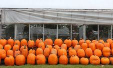 Free Picking Pumpkins At The Nursery Stock Photos - 27175043