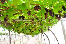 Free Ripe Grapes In The Vineyard. Royalty Free Stock Photo - 27175715