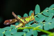 Free Short Horn Grasshopper Stock Image - 27181801