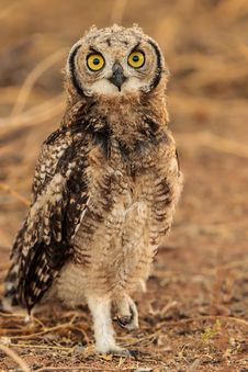 Spotted Eage Owl Royalty Free Stock Images