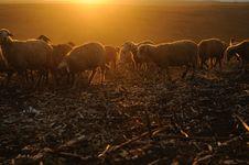 Free Sheep Eating Grass Stock Image - 27183551