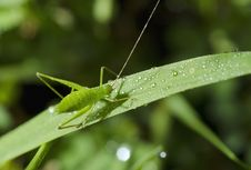 Free Grasshopper Stock Photography - 27183902