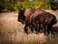 Free Buffallo And Real Cowboy Royalty Free Stock Photo - 27191775