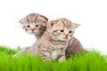Free Two British Kittens On Grass Royalty Free Stock Photo - 27193055