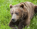Free Grizzly Bear Arctos Ursus Royalty Free Stock Photo - 27193705