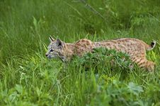 Free Bobcat In Grassy Meadow Stock Photos - 27191603