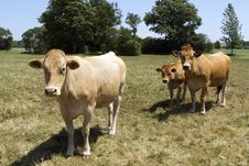 Free Brown Cows Royalty Free Stock Photography - 27193197