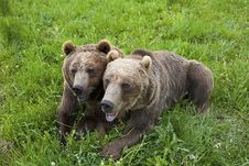 Free Grizzly Bears Arctos Ursus Royalty Free Stock Photography - 27193727