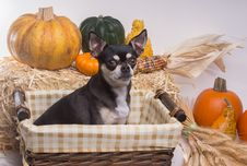 Free Autumn Harvest Dog Stock Photos - 27194713