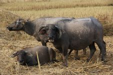 Free Buffalo S Family Stock Photography - 27194802
