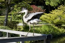 Free Crane Showing Off In Garden Royalty Free Stock Photos - 27195188