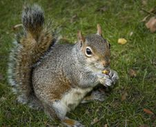 Free Squirrel Royalty Free Stock Photo - 27199045