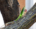 Free Anole With Dewlap Royalty Free Stock Image - 2723516
