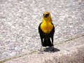 Free Yellow Headed Blackbird Royalty Free Stock Images - 2726749