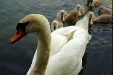 A Swan Family Royalty Free Stock Photography