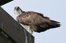 Free Osprey Stock Photography - 2720242