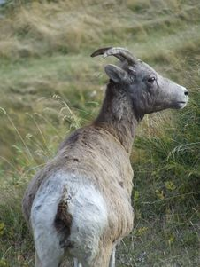 Free Bighorn Sheep Ewe Royalty Free Stock Image - 2720366