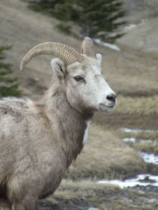 Free Mother Bighorn Sheep Royalty Free Stock Photography - 2720647