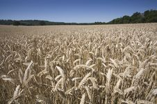 A Wheatfield Ready For Harvest Royalty Free Stock Photo