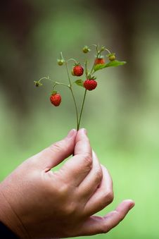 Free Wild Strawberry Stock Images - 2721044