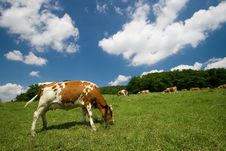 Free Cows On Green Meadow Royalty Free Stock Image - 2721096