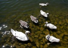 Free Swan Stock Photos - 2721653