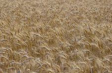 Free Wheat Field Stock Photography - 2721812
