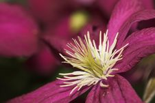 Free Clematis Stock Images - 2721814