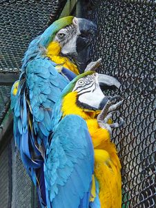 Free Two Parrots Royalty Free Stock Images - 2721979